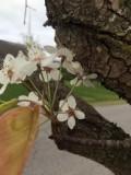 blossomsPruned