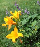 hostas daylillies