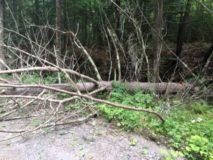 fallen tree 1 aug 2016