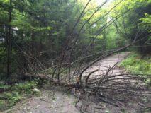 fallen tree 3 aug 2016